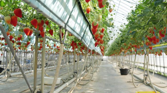 福島さくら農業協同組合 いわきいちご部会高設栽培研究会